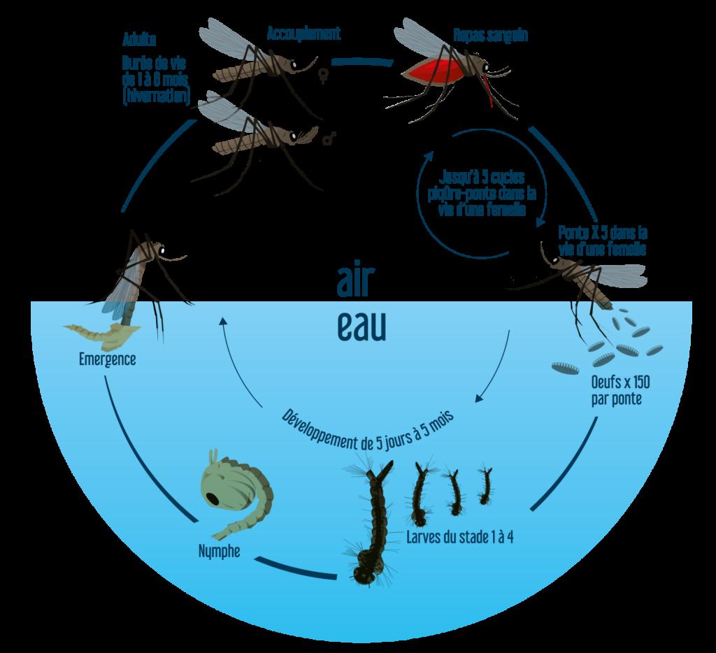 Le cycle de vie du moustique